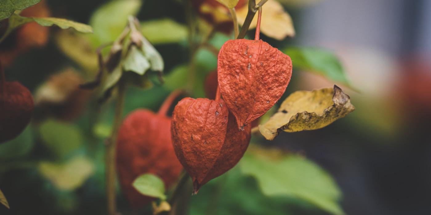 Lampionblume als Symbol der Prostata | Patrick Brinksma - Unsplash