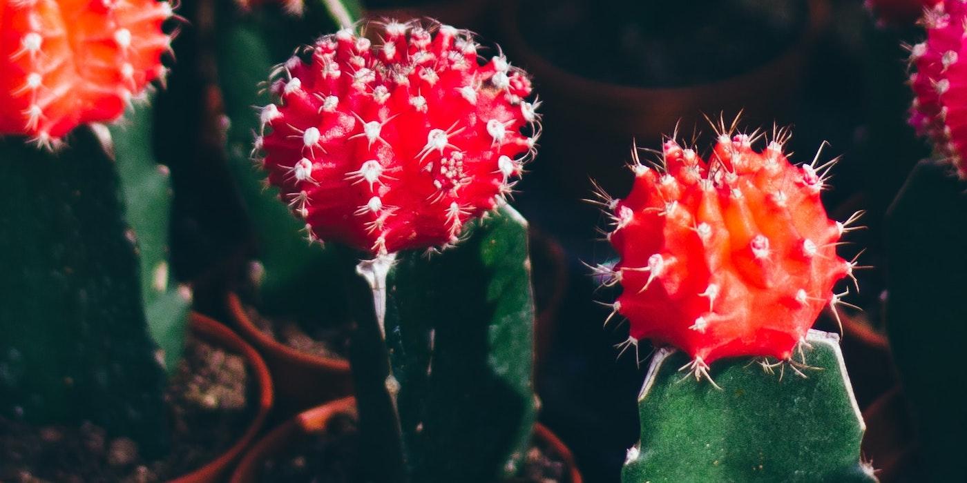 Grüner Kaktus mit einer roten Blüte. | Dhaya Eddine Bentaleb - Unsplash