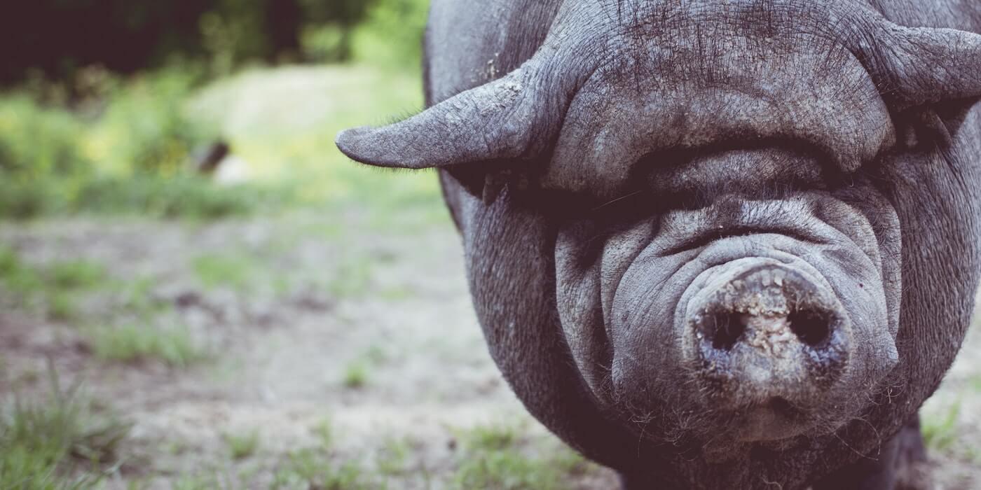 Dickes iberisches Schwein   Fabian Blank - Unsplash