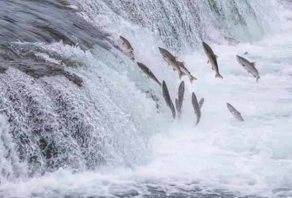 Pacific salmon offers abundant scope to modernize and progress fish processing, writes Bylgja Pálsdóttir with insights from Russian regional manager Pétur Jakob Pétursson.