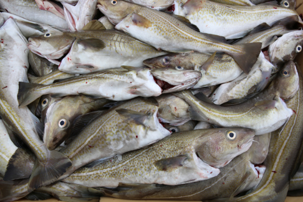 Recent figures on Iceland's cod stocks confirm that the nation's dedication to responsible fisheries management is not only creating a sustainable industry but also triggering a steady increase in value. Bylgja Páldóttir explains.