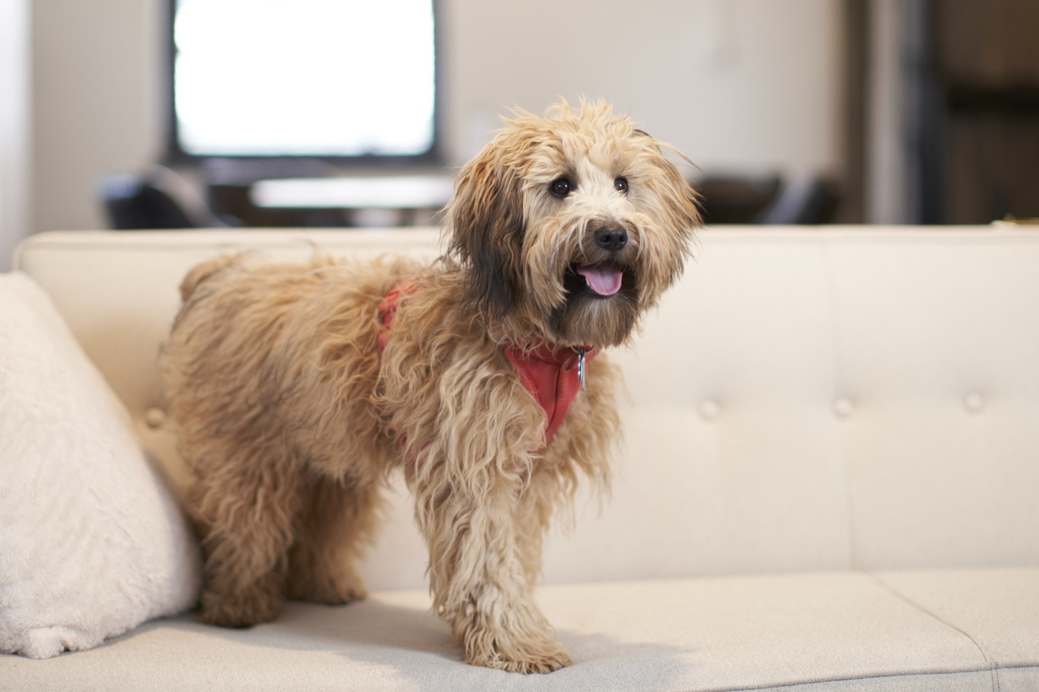 Photo of dog standing on a couch