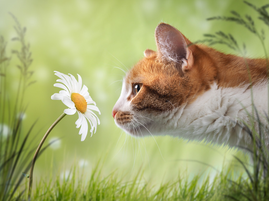 Cat sniffing the flower is a Daisy. Beautiful natural background