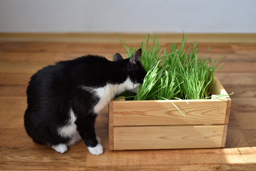 Black and white cat eating fresh green grass planted in a wooden box. Cat grass, pet grass. Natural hairball treatment