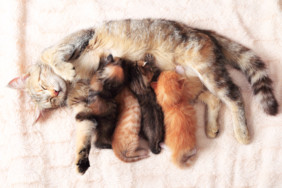 litter of kittens with momma cat