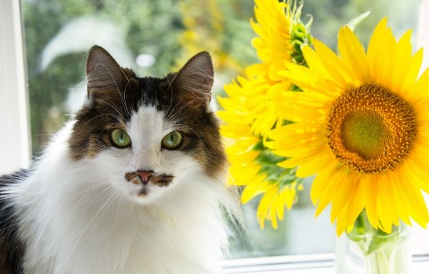 Cat and yellow sunflowers on the window | Sunflowers | The 14 Best Cat-Friendly Plants For Your Home