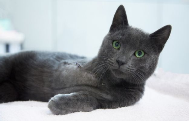 Disabled gray cat with an amputated front leg is relaxing on a cat bed | Amputee Cats | Taking Care Of Disabled Cats