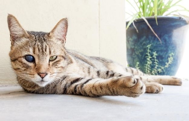 Portrait of Blind Domestic Cat | Blind Cats | Taking Care Of Disabled Cats