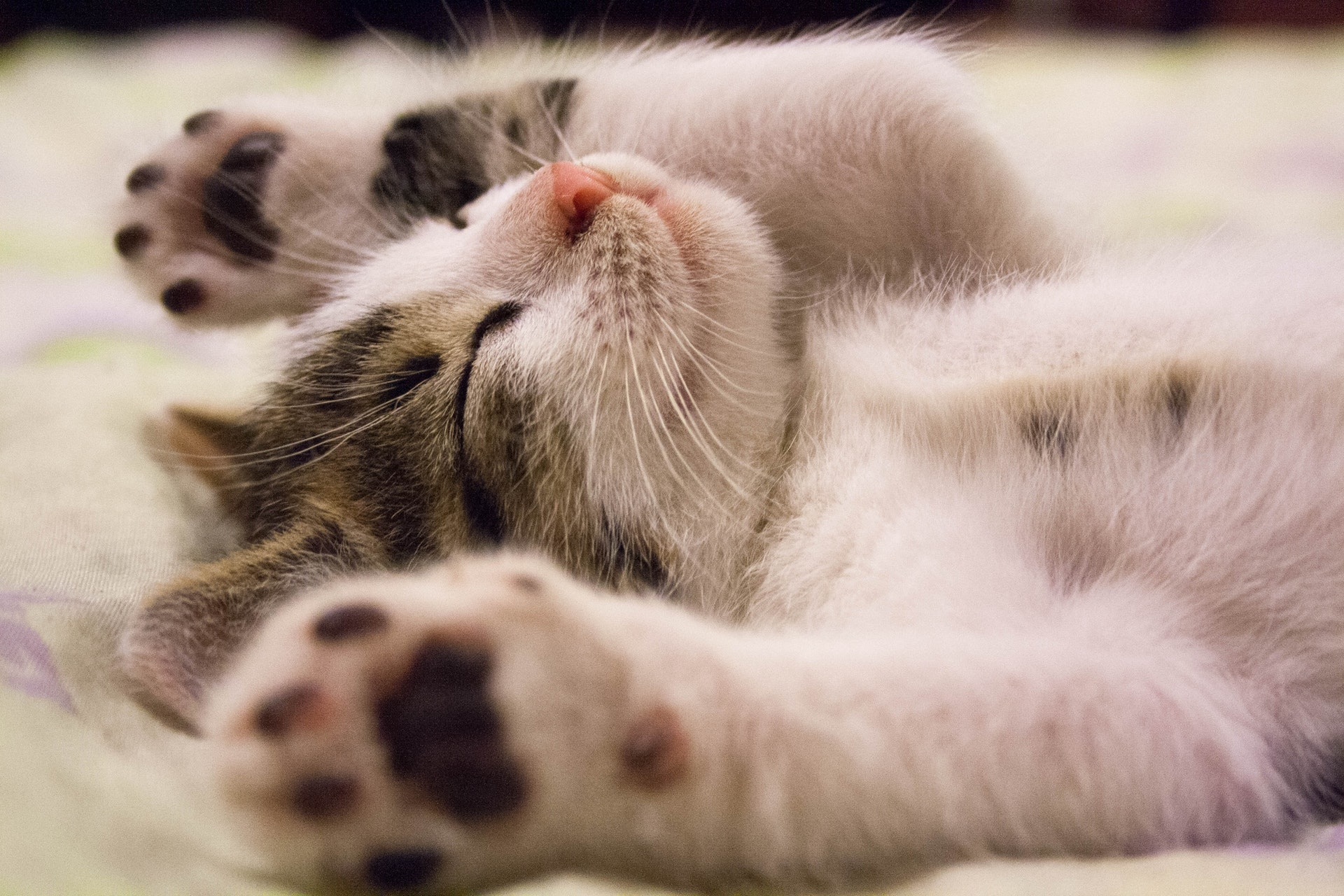 Sleeping kitten | How to Introduce Your Foster Kitten to Your Home