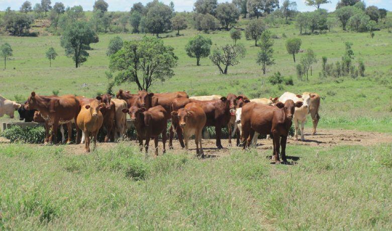Cattle Goldsborough