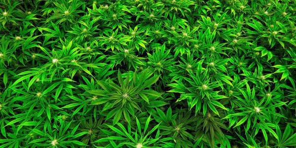 420: CH-Rap gets High