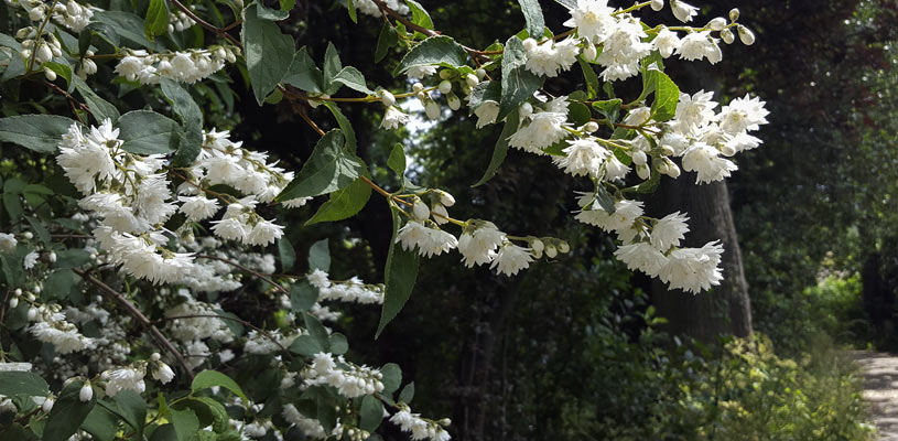 mock orange privacy plant