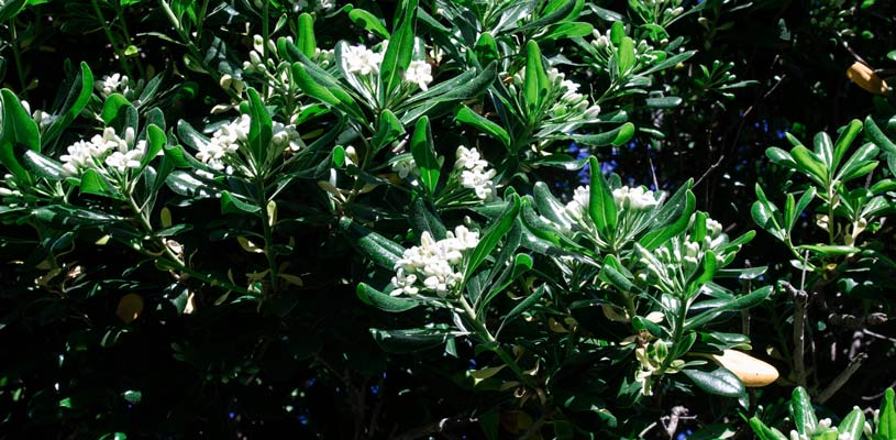 pittosporum privacy plant
