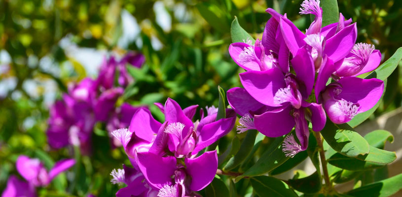 polygala privacy plant