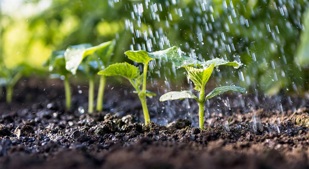 Importance of irrigation and soil preparation