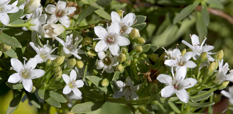 Creeping Boobialla Myoporum Parvifolium