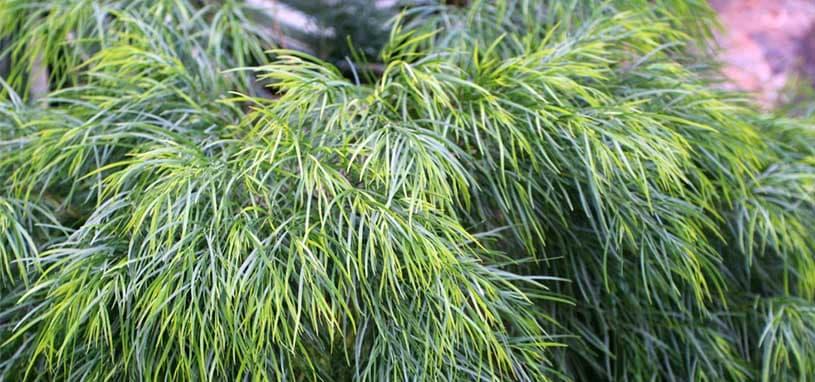 Acacia Winter Flame