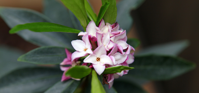 Shade tolerant winter daphne
