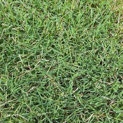 [Lawn Turfs] Tif Tuf Grass