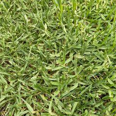 [Lawn Turfs] Eureka Kikuyu Premium VG