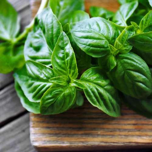 [Plants] Basil