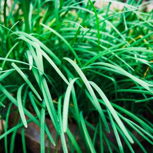 [Plants] Chives