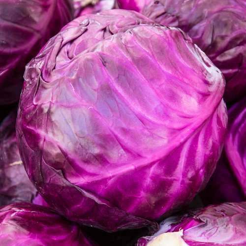 [Plants] Red Cabbage