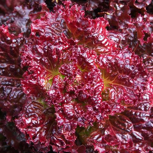 [Plants] Red Lettuce