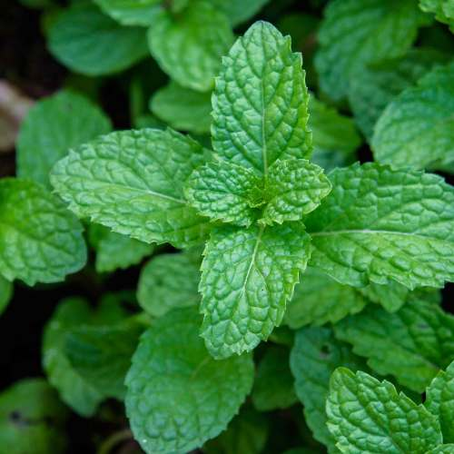 [Plants] Mint
