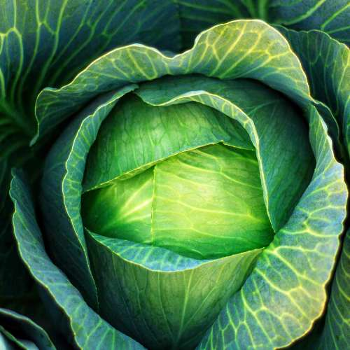 [Plants] Cabbage