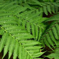 [Ferns] Tree Fern