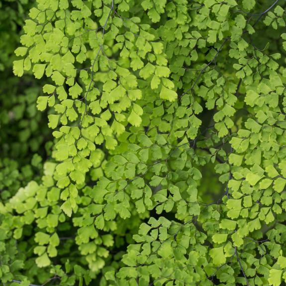 [Ferns] Maidenhair Fern