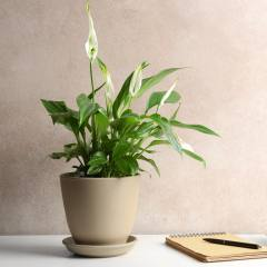 [Indoor plant] Peace Lily