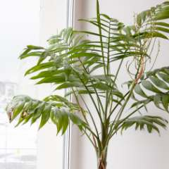 [Palms and exotics] Bangalow