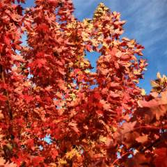 [Ornamental Plants] Maple Autumn Blaze