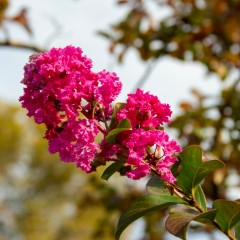 [Ornamental Plants] Crepe Myrtle Tuscarora