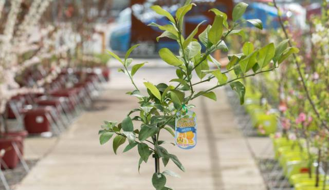 Locally grown lemon tree at All Green nursery