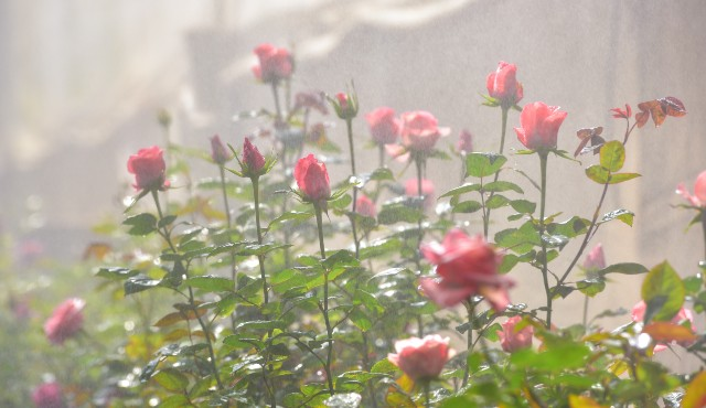 roses blooming in a greenhouse