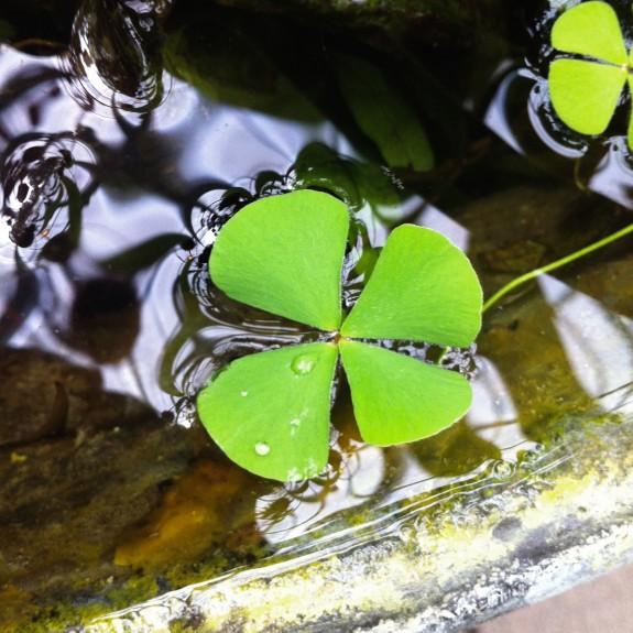 [Water plants] Nardoo