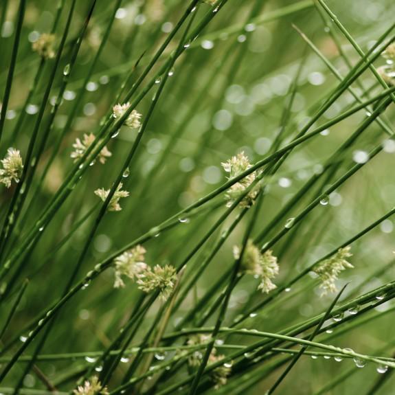 [Water plants] Juncus