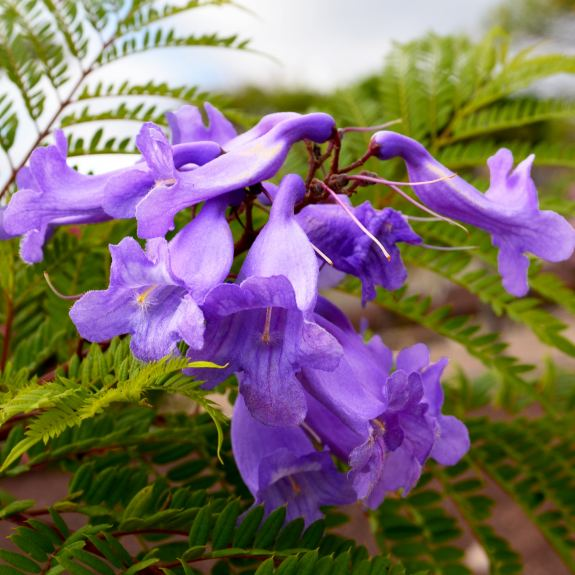 [Exotic Trees] Blue Jacaranda