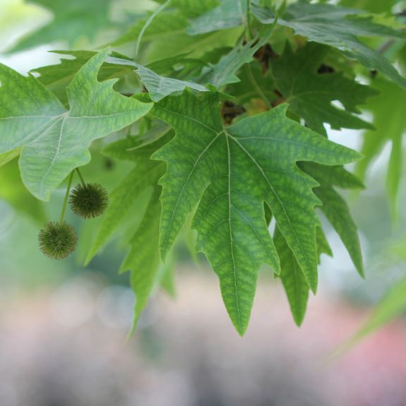 [Exotic Trees] Plane Tree