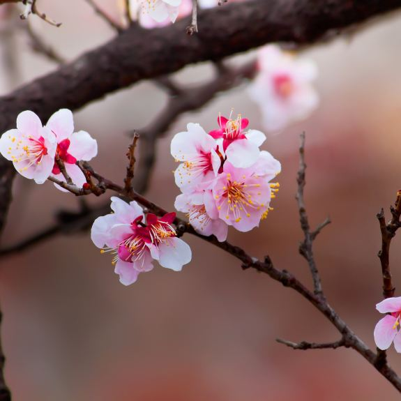 [Ornamental Trees] Flowering Cherry