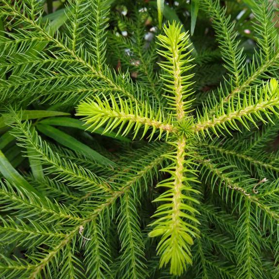 [Exotic Trees] Hoop Pine