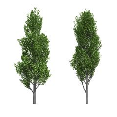 [Exotic Trees] Poplar
