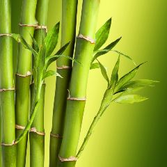 [Exotic Trees] Bamboo