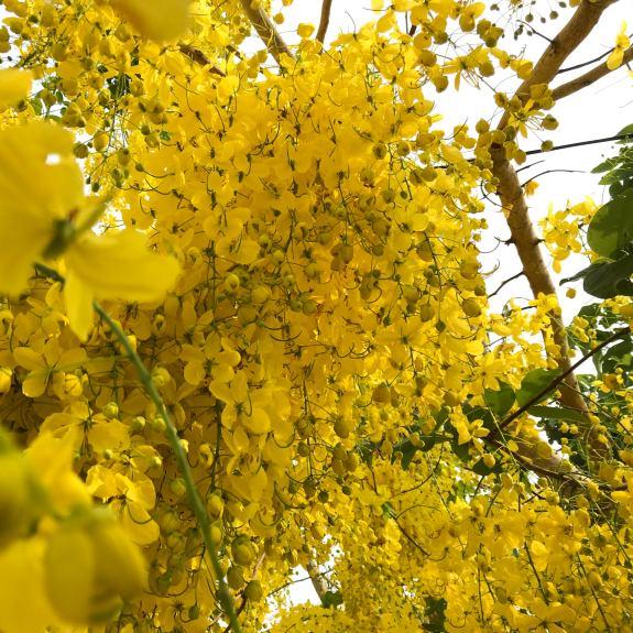 [Exotic Trees] Golden Shower