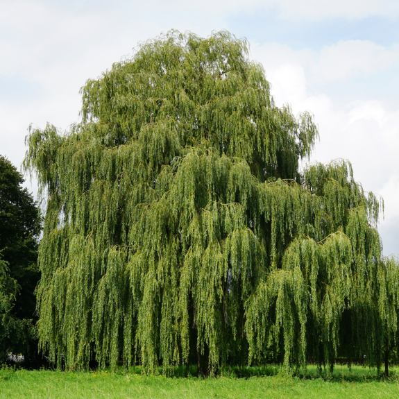 [Exotic Trees] Weeping Willow
