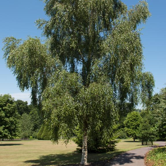 [Exotic Trees] Silver Birch