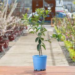 [Citrus Trees] Lime Tree